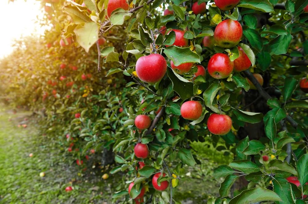 maçã benefícios