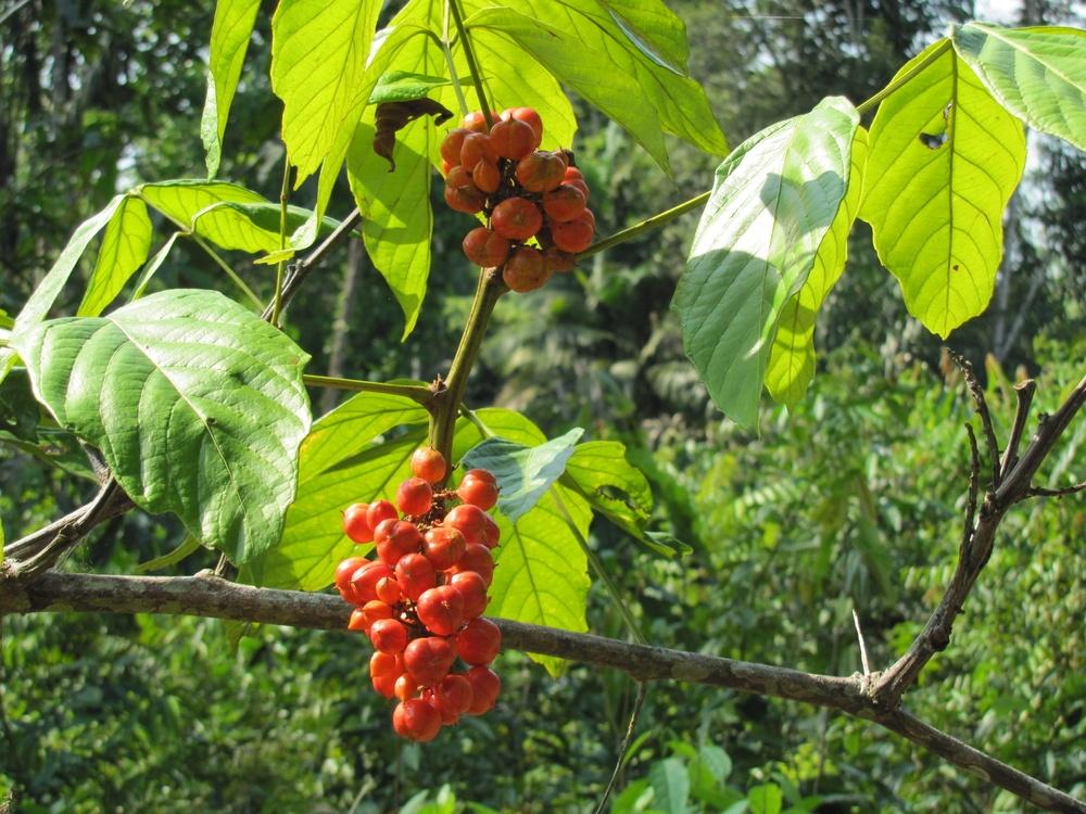 fruta guaraná